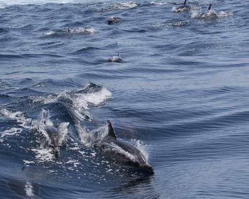 DolphinSwarm